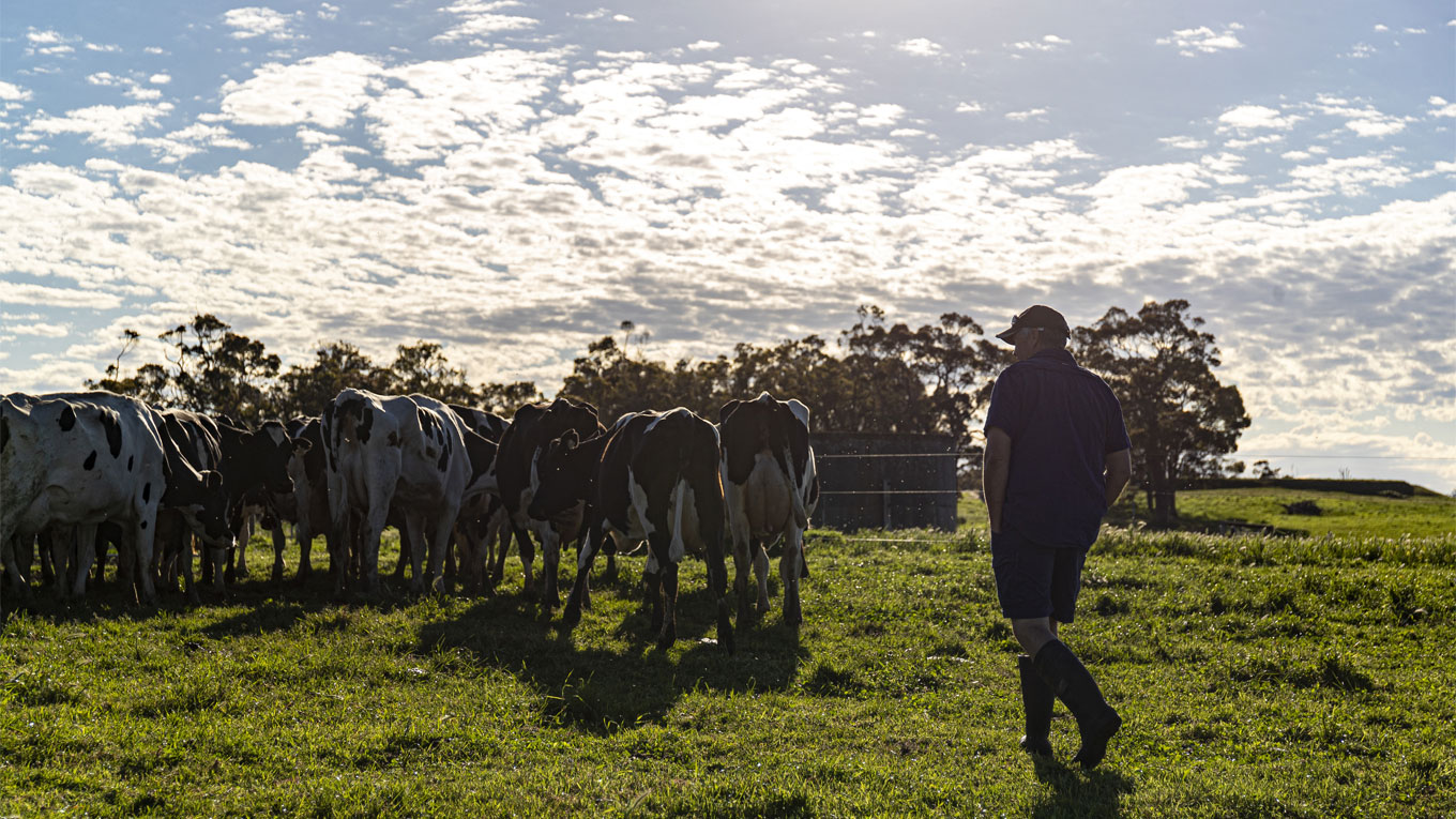 Farmer on a dairy paddock with cows