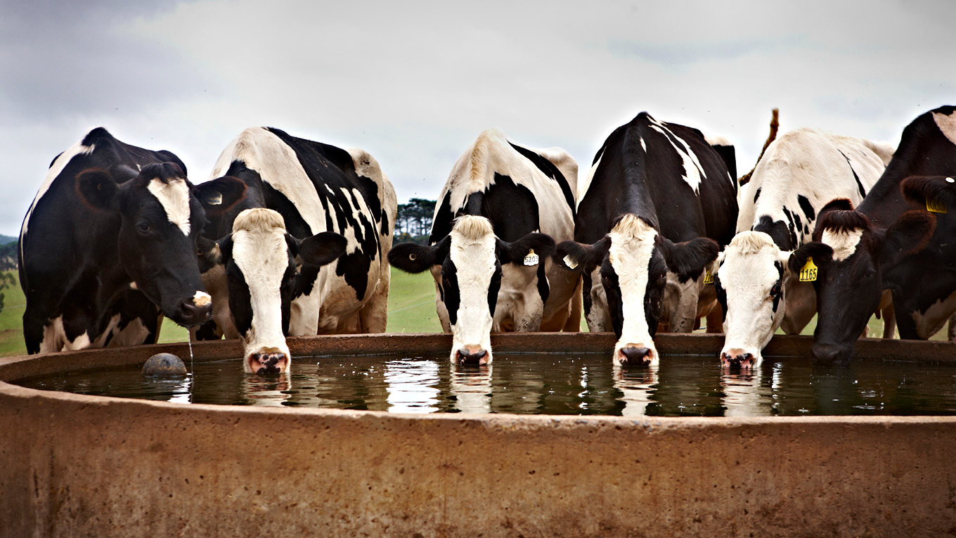 Keeping cows cool