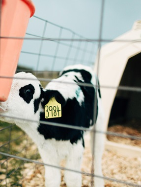 Calf housing
