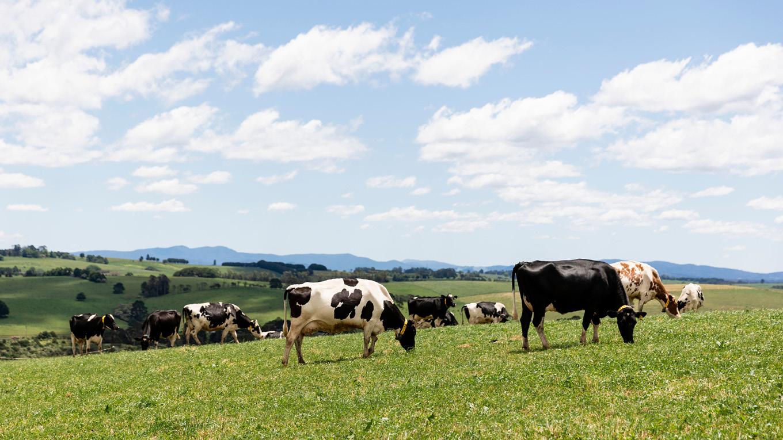 Cows grazing on lush green paddock