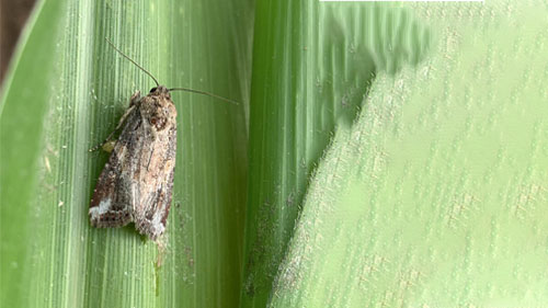 A Fall armyworm moth